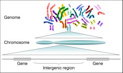 human-genome-gene
